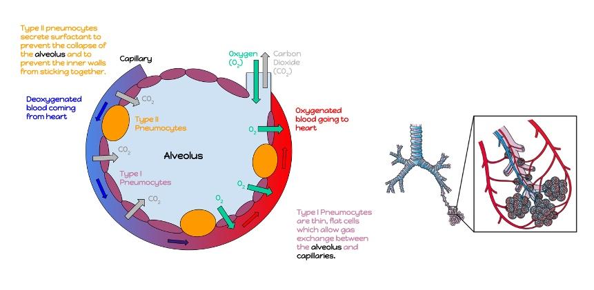 Left: Figure 2. Illustration of the capillary exchange in the alveoli, kindly provided by prof. Kjell Alving, Uppsala University. Right: Figure 3. Illustration of the alveoli inside the lung.